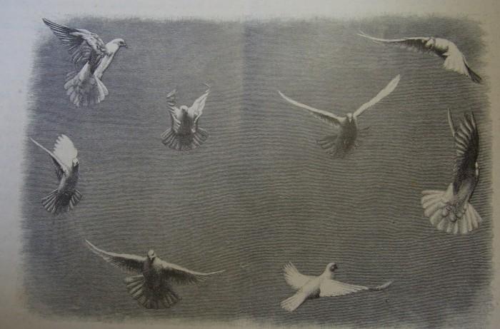 Tauben im Flug O. Anschütz Daheim Nr. 26_1885 S. 408